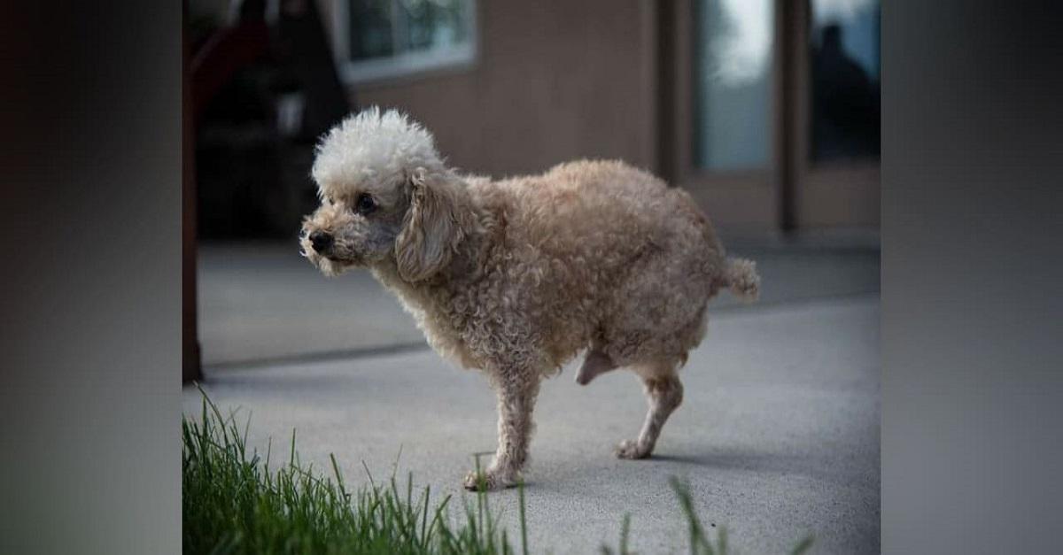 Após sofrer por 10 anos nas ruas, cão com duas pernas finalmente é resgatado